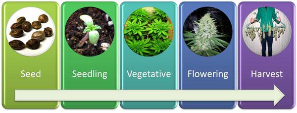cannabis-life-timeline